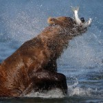 Bob-le-grizzly-2