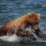 Bob-le-grizzly